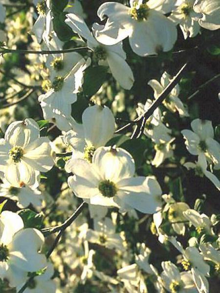 Cornouiller à grandes fleurs