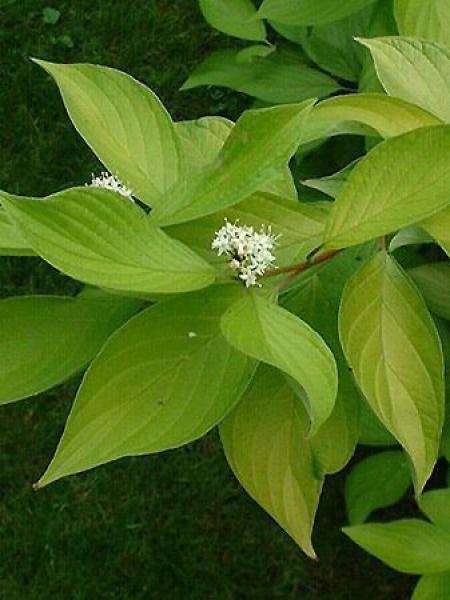 Cornouiller blanc 'Aurea'