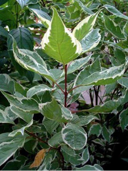 cornouiller blanc 39 elegantissima 39 cornus alba le jardin du pic vert. Black Bedroom Furniture Sets. Home Design Ideas