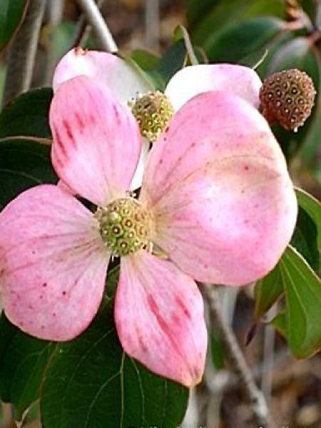 Cornouiller 'Stellar Pink'