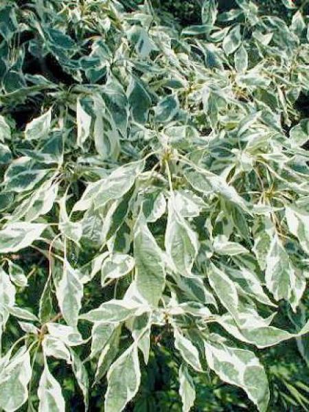 Cornus à feuilles alternes 'Argentea'