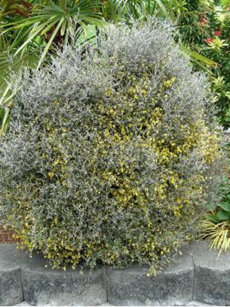 Corokie cotoneaster