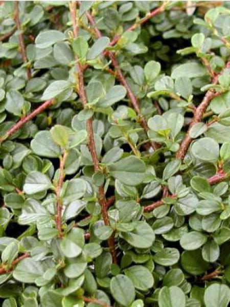 Cotonéaster à petites feuilles 'Queen Of Carpets'