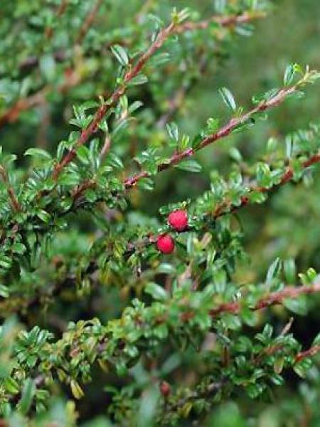 Cotonéaster à petites feuilles 'Thymifolius'