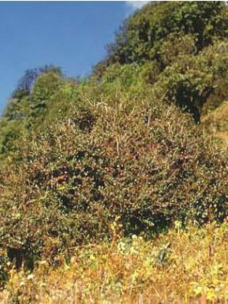 Cotonéaster à petites feuilles