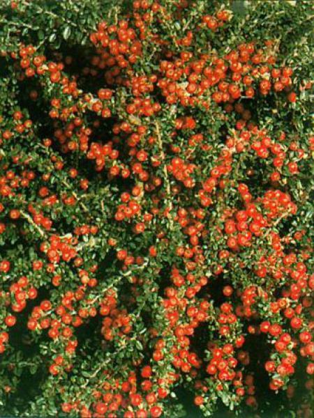 Cotoneaster conspicuus 'Decorus'