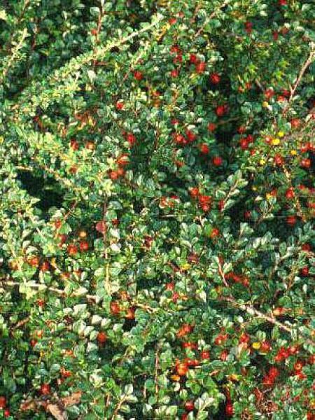 Cotoneaster praecox 'Boer'