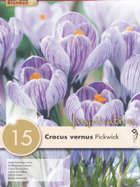 Crocus  'Pickwick'