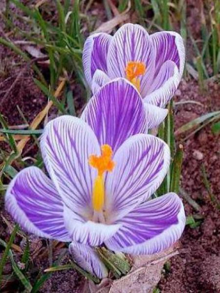 Crocus  'Striped'