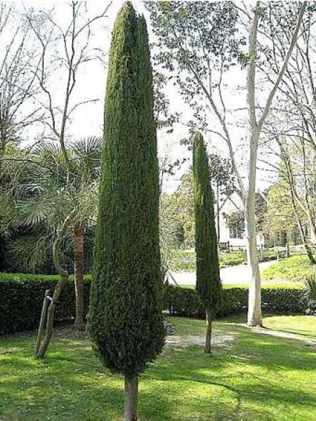 Cypr s d 39 italie de provence 39 stricta 39 cupressus sempervirens le jardin du pic vert - Cypres d italie totem ...
