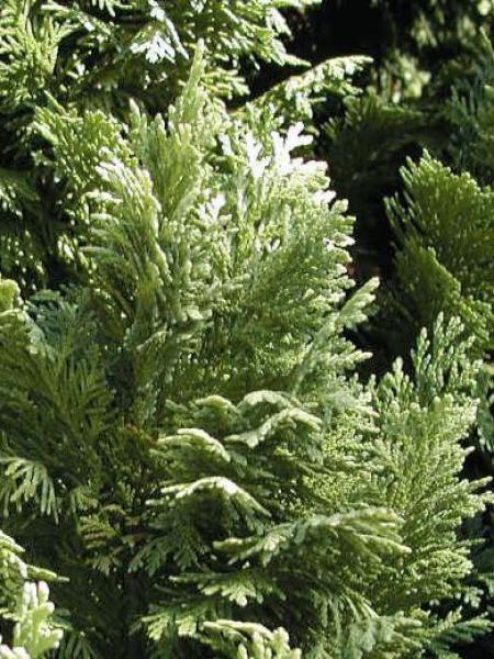 Cyprès de Lawson 'Pygmaea Argentea'