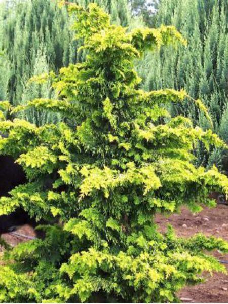 Cyprès hinoki du Japon 'Fernspray Gold'