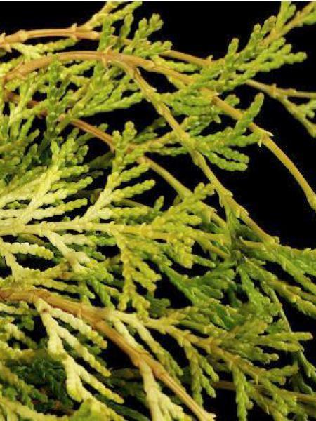 Cyprès hinoki du Japon 'Kamarachiba'