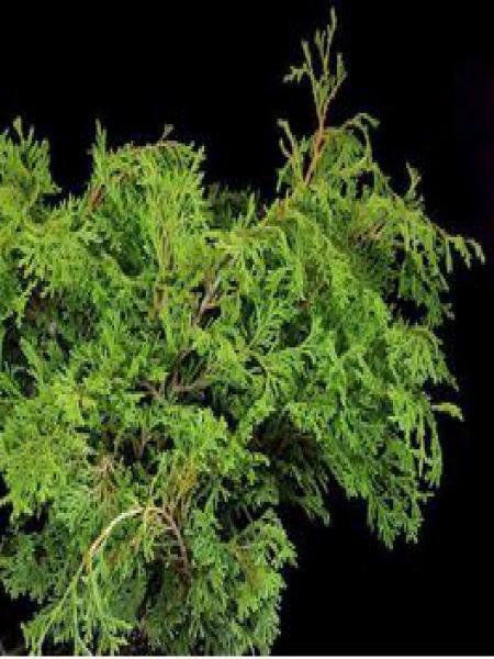 Cyprès hinoki du Japon 'Pygmaea'