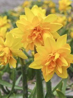 Narcisse à fleurs doubles 'Tête blouclé'