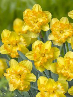 Narcisse 'Blazing Starlet'
