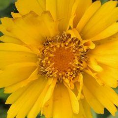 Coreopsis grandiflora 'Early Sunrise'