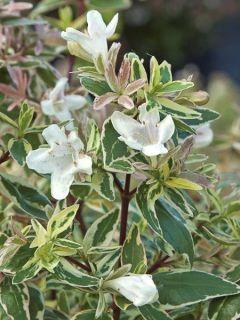 Abélia à grandes fleurs 'Sparkling Silver'