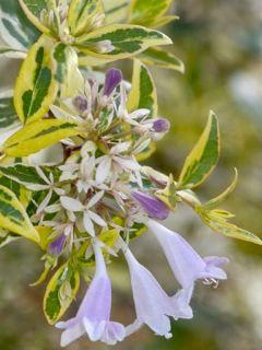 Abelia grandiflora Radiance - Abélia à grandes fleurs
