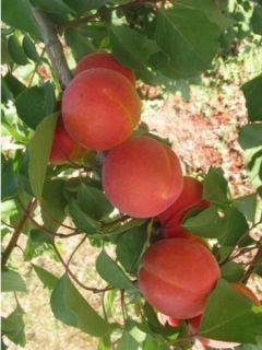 Abricotier Bergeron - Prunus armeniaca en gobelet