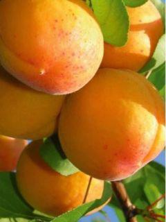 Abricotier Hargrand - Prunus armeniaca