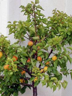 Abricotier nain 'Garden Aprigold'