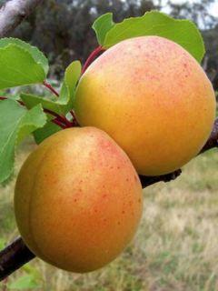 Abricotier Précoce de Saumur - Prunus armeniaca