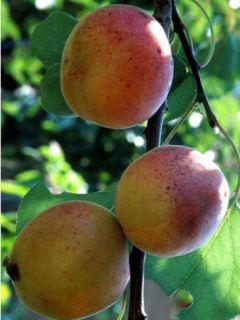 Abricotier Rouge du Roussillon - Prunus armeniaca