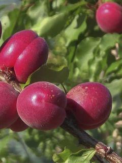 Abricotier Rubista® - Prunus armeniaca