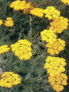 Achillée Coronation Gold