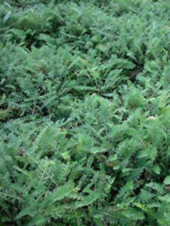 Achillée crithmifolia