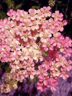 Achillée - Achillea millefolium Apfelblute