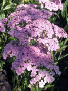 Achillea millefolium Jacqueline - Achillée millefeuille