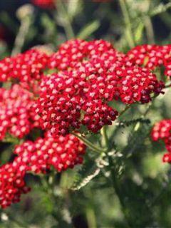 Achillée millefolium Laura