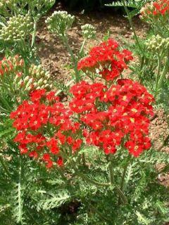 Achillée -  Achillea millefolium Paprika