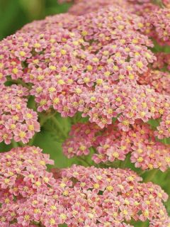 Achillée millefeuilles Peachy Seduction - Achillea millefolium