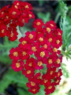 Achillée millefeuille Red Beauty