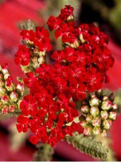 Achillea millefolium Red Velvet - Achillée millefeuille rouge intense
