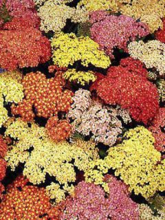 Achillée, Achillea Millefolium Summer Pastel
