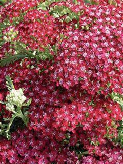 Achillée Millefolium Summerwine