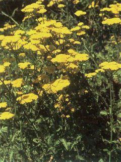 Achillea Moonshine - Achillée jaune d'or