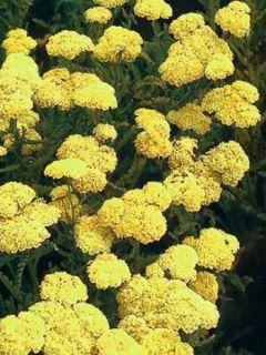 Achillée taygetea - Achillea taygetea