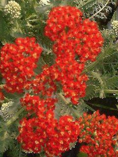 Achillée - Achillea millefolium Walter Funcke