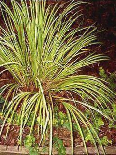 Graines de Cyclamens Naples - Cyclamen neapolitanum
