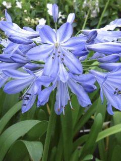 Agapanthe, Agapanthus blue Heaven