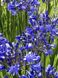 Agapanthe hybride Blue Jeans