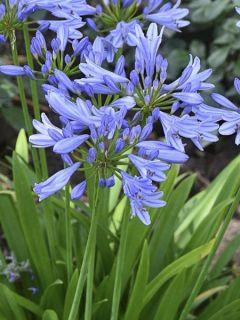 Agapanthe - Agapanthus Pitchoune Blue