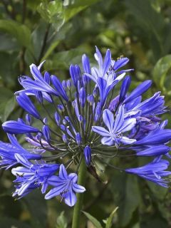 Agapanthe Flower of Love
