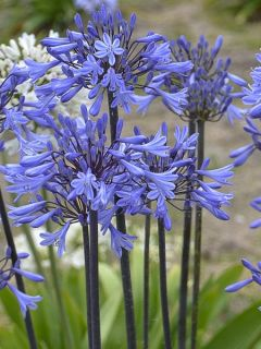 Agapanthe 'Graphite Blue'