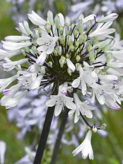 Agapanthe Graphite White